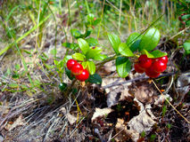 Red cowberry in the green forest. Autumn. Red cowberry in the green forest Royalty Free Stock Photography