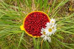 Red cowberry in a mug on the grass with white flowers field daisies, flat lay.  Royalty Free Stock Photo