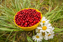Red cowberry in a mug on the grass with white flowers field daisies, flat lay.  Stock Photography