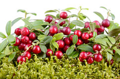 Red cowberry Royalty Free Stock Photo