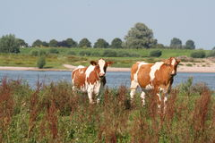 Red cows. At the river Waal in the Netherland Royalty Free Stock Image