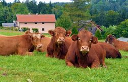 Red cows lying on a alp meadow and relax Stock Images
