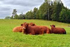 Red cows lying on a alp meadow and relax Stock Photo