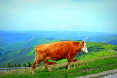 Red cows in mountain Stock Photo