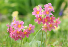 Red cowslips in the grass Stock Image