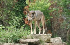 Red Coyote. Red Grey Gray Coyote Rock rocks woods forest Stock Photos