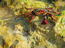 Red crab Royalty Free Stock Images