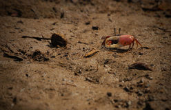 Red Crab Royalty Free Stock Photography