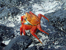 Red Crab. On a black rock stock images