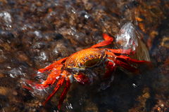 RED CRAB Stock Photos