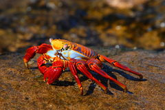 Red crab Stock Image