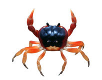 Red Crab. In defense position royalty free stock image