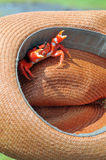 Red crab. On the fisherman's hat Stock Images
