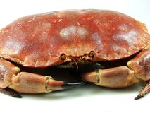 Red crab. Close up on white background Royalty Free Stock Photography