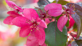 Red Crab apple flowers Stock Image
