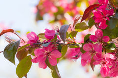 Red Crab apple flowers Stock Photo