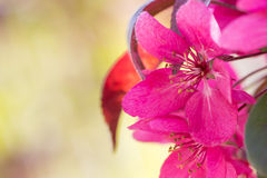 Red Crab apple flowers Stock Photography
