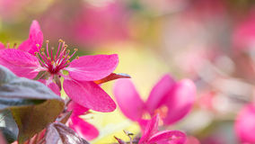Red Crab apple flowers. Fresh red crab apple flowers in the sun Stock Photo