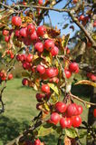 Red Crab Apples Stock Image