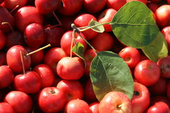 Red Crab Apples background Stock Photography