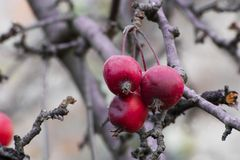 Red crab apples Royalty Free Stock Images