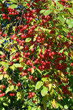 Red crab apples Stock Photography