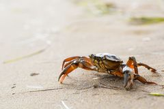 Red crab on beach stock photo