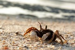 Red crab on the beach Royalty Free Stock Photo