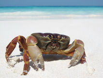 Red crab on beach Stock Images