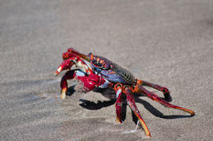 Red crab on the beach. Tenerife.Canary Islands Stock Images
