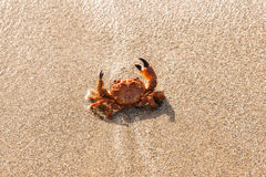 Red crab on the beach Stock Photos