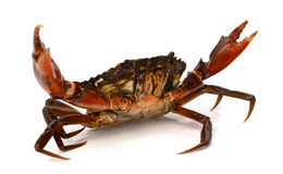 Red crab. Blue Crab with white background Stock Photo