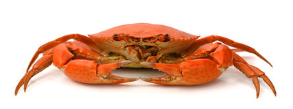 Red crab. Blue Crab with white background Stock Images