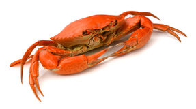 Red crab. Blue Crab with white background Stock Image