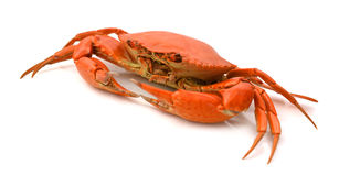 Red crab. Blue Crab with white background Royalty Free Stock Photography