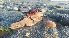 Red Crab on Brown Driftwood on Beach during Daytime Stock Photography