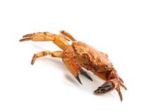 Red crab close up Royalty Free Stock Photos