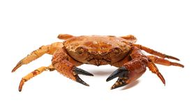 Red crab close up Royalty Free Stock Photography