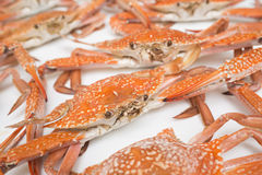 Red crab. Close-up isolated on white background stock image