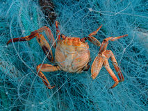 Red crab died in the fishing net Stock Photos