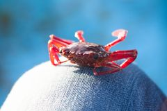 Red crab on fishing boat on blue background Royalty Free Stock Photos
