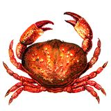 Red crab, fresh seafood or shellfish food, isolated, top view, watercolor illustration on white. Background Royalty Free Stock Image