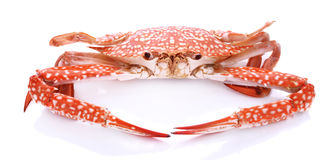 Red crab isolated on white background Royalty Free Stock Photos