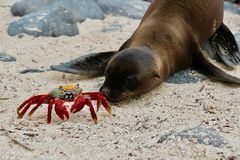 Red crab meets sealion baby on Galapagos stock image