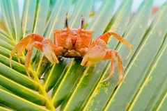 Red crab on a palm tree Stock Photos