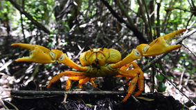 The red crab is protected. Stock Photo