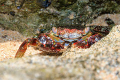 Red crab Puerto Rico Royalty Free Stock Photo