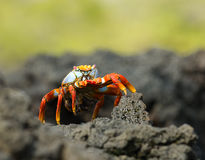Red crab on the rock, galapagos islands Royalty Free Stock Photo