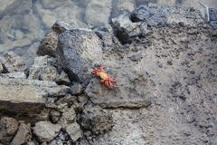 Red Crab Royalty Free Stock Photo