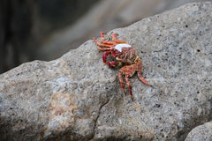 Red crab on the rocks Stock Photo